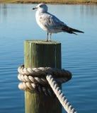 Mouette sur un dock Photographie stock