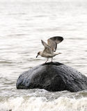 Mouette sur une pierre en mer Photographie stock