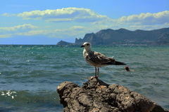 Mouette sur une roche Photos libres de droits