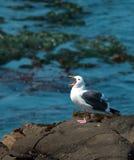 Mouette sur une roche dans l'océan Image stock