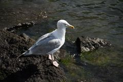 Mouette sur une roche et une rivière Photographie stock libre de droits