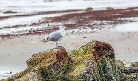 Mouette sur une roche faisant face à la plage photos libres de droits