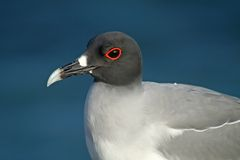 Mouette Swallow-tailed, îles de Galapagos Photo libre de droits
