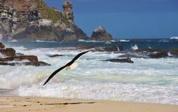 Mouette swooping sur la plage de Dias Photos stock