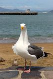 Mouette tenant et regardant l'appareil-photo sur le rivage Photo libre de droits