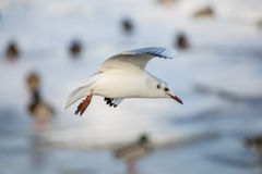 Mouette volant au-dessus de la rivière images libres de droits