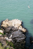Mouettes à queue noire d'île de Hailu Images stock