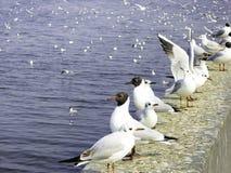 Mouettes à tête noire dans le barrage de haigeng Photographie stock libre de droits