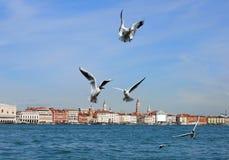 Mouettes à Venise Photographie stock libre de droits