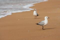 Mouettes allant au devant sur la plage Photos libres de droits