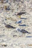 Mouettes argentées sur la plage roumaine Photo libre de droits
