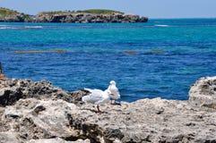 Mouettes argentées australiennes : L'Océan Indien, cap Peron Image libre de droits