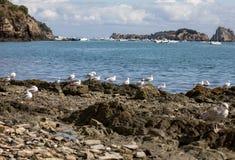 Mouettes attendant les ordures des huîtres et des poissons dans Cancale La Bretagne, photographie stock