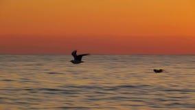 Mouettes au-dessus de la surface de mer au coucher du soleil banque de vidéos