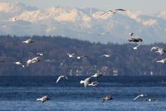 Mouettes au-dessus de Puget Sound Image stock