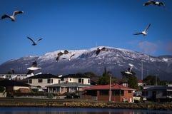 Mouettes avec le bâti Wellington, Tasmanie à l'arrière-plan Photo stock