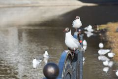 Mouettes blanches se reposant sur la balustrade du pont, dans la perspective de la rivière Image stock
