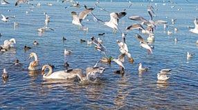 Mouettes, canards et cygnes Photo stock