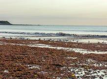 Mouettes cherchant dans la marée rouge photographie stock libre de droits