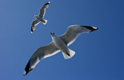Mouettes dans le ciel Photo stock