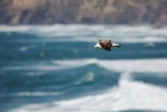 Mouettes d'harengs combattant au-dessus de l'Océan Atlantique photo stock