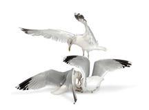 Mouettes d'harengs européennes, argentatus de Larus Images libres de droits