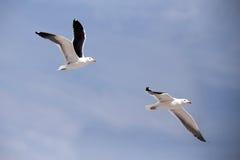 Mouettes d'harengs européennes volantes, argentatus de Larus Photo stock