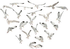 Mouettes d'harengs européennes, argentatus de Larus Photo stock