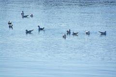 Mouettes d'hiver sur l'eau bleue calme photos libres de droits