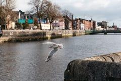 Mouettes dans le canal de la ville irlandaise du liège Images libres de droits