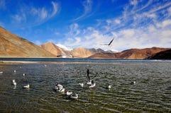 Mouettes dans le lac Ladakh Pangong Image stock