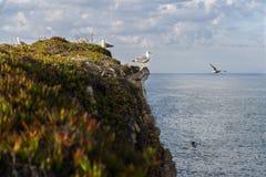 Mouettes dans une falaise dans la côte portugaise Photos stock
