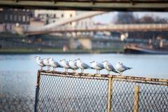 Mouettes dans une rangée dans la ville Images libres de droits