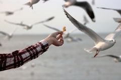 Mouettes de alimentation de main humaine du ` s sur le fond de bord de la mer Photos stock