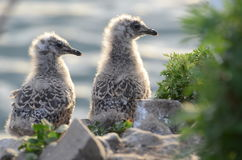 Mouettes de birdie photographie stock