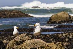 Mouettes de côte de l'Orégon Photos stock
