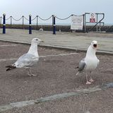 Mouettes de couples de la Manche images libres de droits