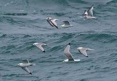 Mouettes de mouette tridactyle volant en troupeau au-dessus de la mer Image stock
