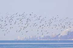 Mouettes de Sotchi la Mer Noire volant au-dessus de la mer photographie stock libre de droits