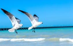 Mouettes de vol Photos libres de droits