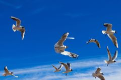 Mouettes de vol dans le ciel bleu images libres de droits