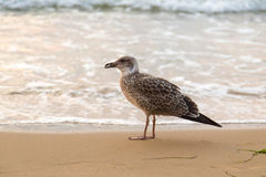 Mouettes empreinte de pas, plage de sable Images stock