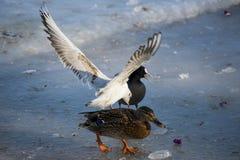 Mouettes et canards mangeant sur la rivière Image stock