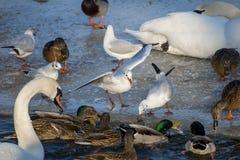 Mouettes et canards mangeant sur la rivière photographie stock