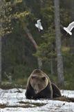 Mouettes et mâle adulte d'ours de Brown (arctos d'Ursus) sur la neige photographie stock