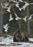 Mouettes et mâle adulte d'ours de Brown (arctos d'Ursus) sur la neige photo libre de droits
