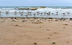 Mouettes grosses sur la côte, des oiseaux aquatiques sur la côte, des mouettes de côte et des pierres Image libre de droits