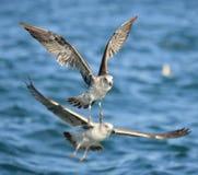 Mouettes juvéniles volantes de varech et x28 ; Dominicanus& x29 de Larus ; Photo stock