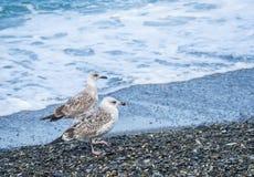 Mouettes marchant sur la plage de la Mer Noire à Sotchi, Russie Photographie stock
