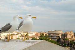 Mouettes regardant au-dessus du Colosseum Images stock